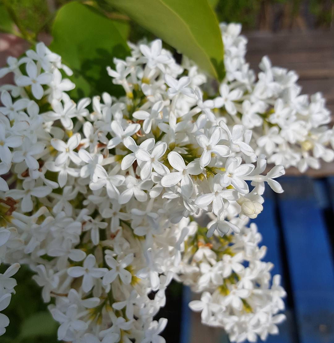 I wish you could smell this white lilac tree thatshellip